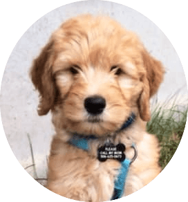 Bernedoodles & Goldendoodles Puppies - Wagging Tails Kennel