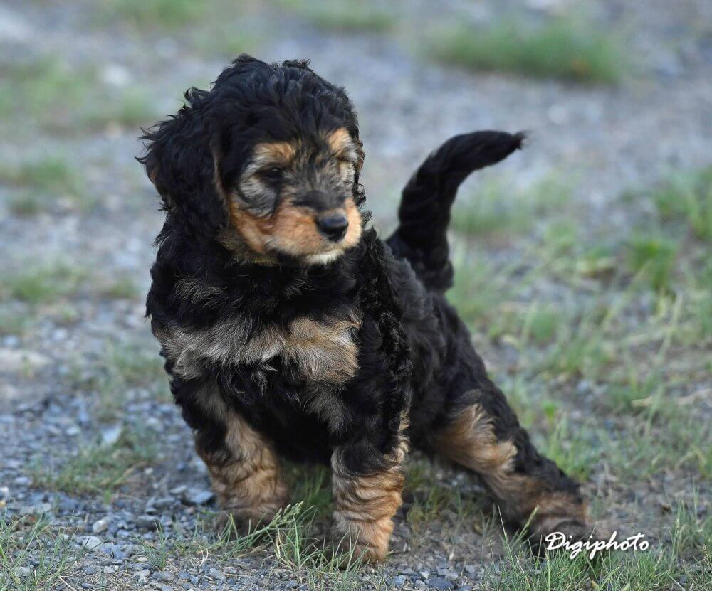 Bernedoodles Goldendoodles Puppies Wagging Tails Kennel