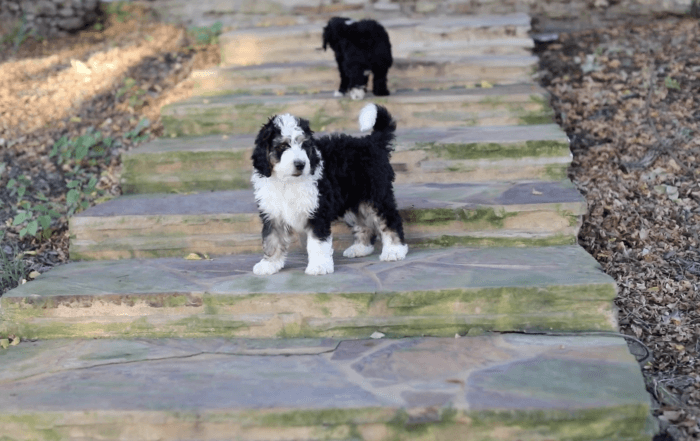 F1 Bernedoodles puppies